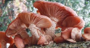 gljive puze